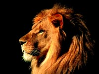 Lion Power Animal